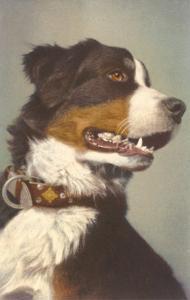 Bernese Dog with Collar