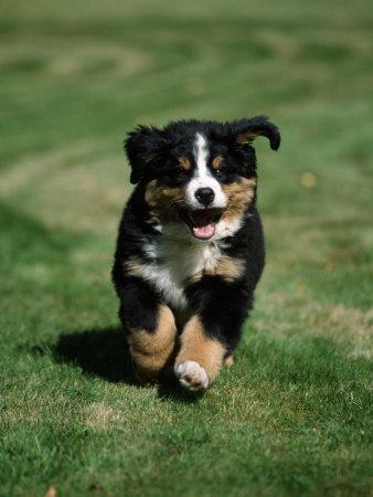 https://imgc.artprintimages.com/img/print/bernese-mountain-puppy-running_u-l-q10nz320.jpg?p=0