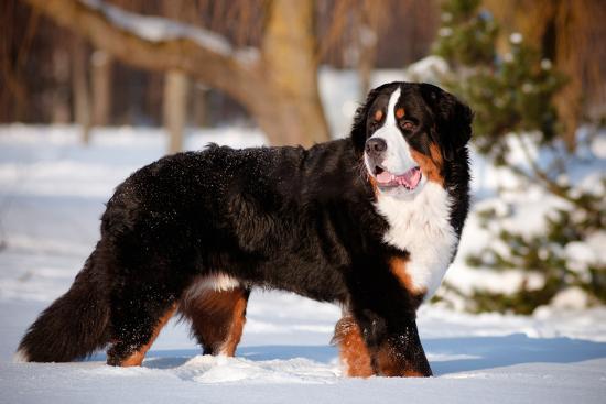 Bernse Mountain Dog Portrait in Winter- otsphoto-Photographic Print
