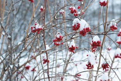 https://imgc.artprintimages.com/img/print/berries-in-winter_u-l-q1gwkla0.jpg?p=0