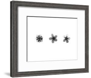 X-Ray Frangipani Triptych by Bert Myers