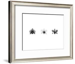 X-Ray Orchid Triptych by Bert Myers