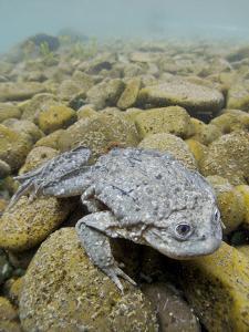 Titicaca Water Frog (Telmatobius Culeus) Underwater Resting on the Lake Bed, Lake Titicaca, Bolivia by Bert Willaert