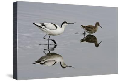 Avocet (Recurvirostra Avosetta) Feeding Along Side a Redshank (Tringa Totanus), Brownsea Island, UK