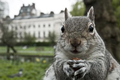 Close-Up of Grey Squirrel (Sciurus Carolinensis) Holding a Nut