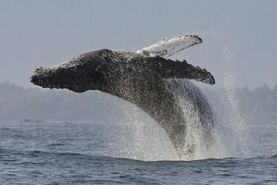 Humpback Whale (Megaptera Novaeangliae) Adult Breaching, Vancouver Island, British Columbia