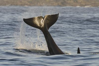 Killer Whale (Orcinus Orca) Tail Slapping At Sunset, Transient Race, Vancouver Island
