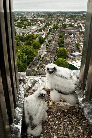 Peregrine Falcon (Falco Peregrinus) Chicks At Nest On Building, London, England