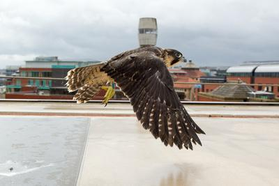 Peregrine Falcon (Falco Peregrinus) In Flight Over Roof Top, Bristol, England, UK