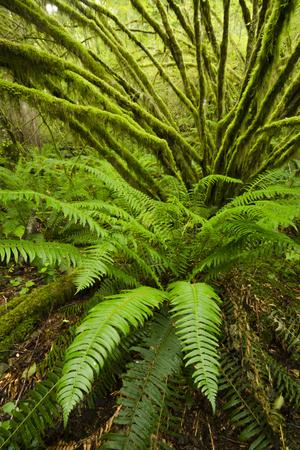 Temperate Rainforest With Vine Maple (Acer Circinatum) And Fern
