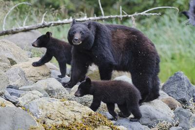 Vancouver Island Black Bear (Ursus Americanus Vancouveri) Mother With Cubs On A Beach