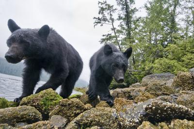 Vancouver Island Black Bears (Ursus Americanus Vancouveri) Taken With Remote Camera