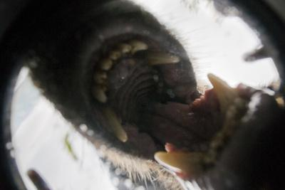 Vancouver Island Wolf (Canis Lupus Crassodon) Biting Camera In Protective Case