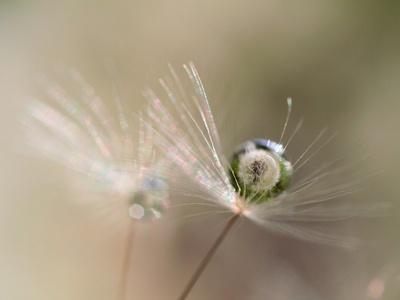Star of dandelion