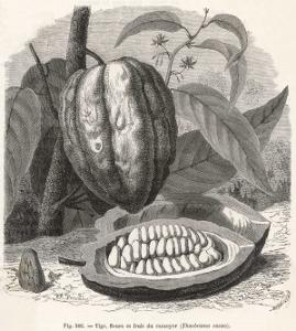 The Fruit of the Cocoa (Or Chocolate) Plant Theobroma Cacao by Berveiller