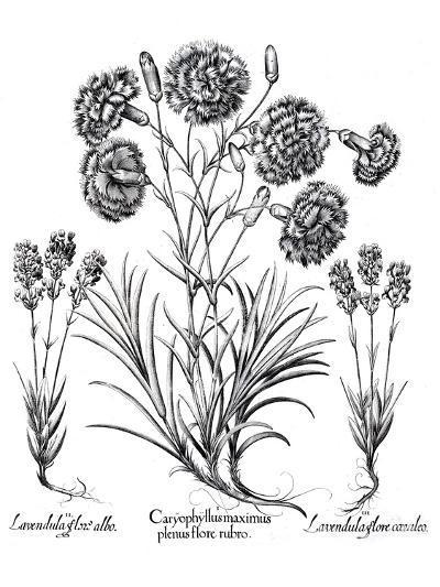 Besler 11- New York Botanical Garden-Art Print