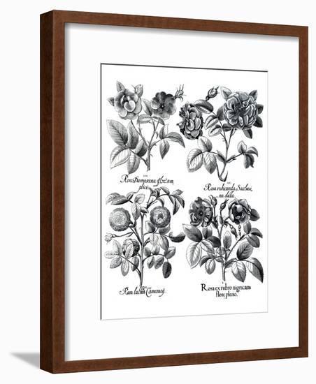 Besler 5-New York Botanical Garden-Framed Art Print