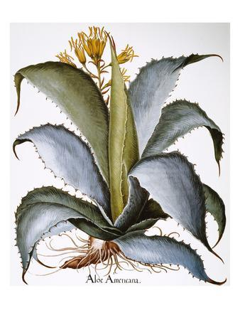 Agave, 1613