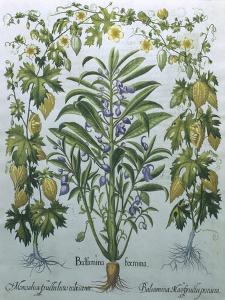 Balsamina Foemina by Besler Basilius