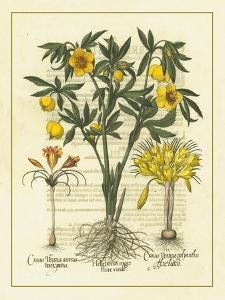 Besler Floral II by Besler Basilius