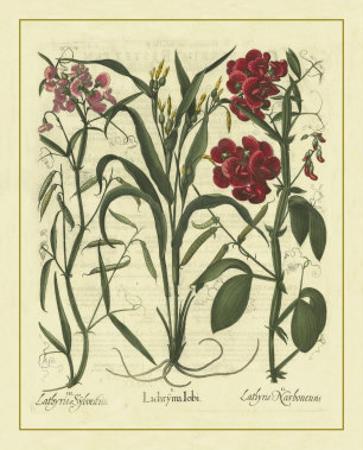 Besler Floral III by Besler Basilius
