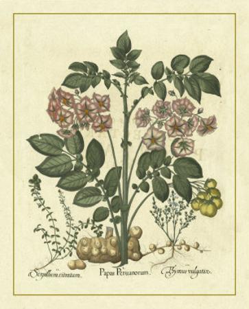 Besler Floral V by Besler Basilius