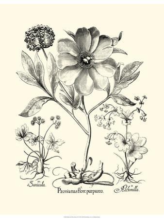 Black and White Besler Peony II by Besler Basilius