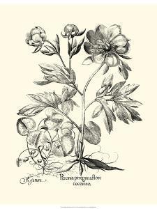 Black and White Besler Peony III by Besler Basilius
