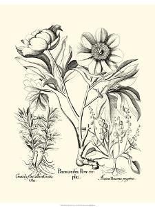 Black and White Besler Peony IV by Besler Basilius