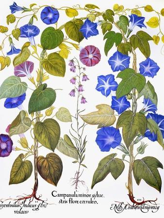Bluebell And Morning Glory