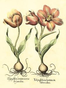 Bulb Garden III by Besler Basilius