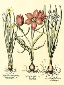 Bulb Garden IV by Besler Basilius