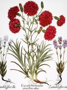 Carnation & Lavender, 1613 by Besler Basilius