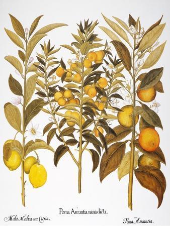 Citron And Orange, 1613