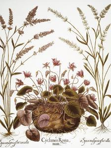 Cyclamen & Lavender, 1613 by Besler Basilius