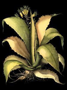 Dramatic Aloe II by Besler Basilius