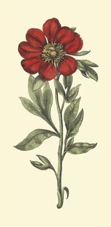 Embellished Blooming Peonies I by Besler Basilius