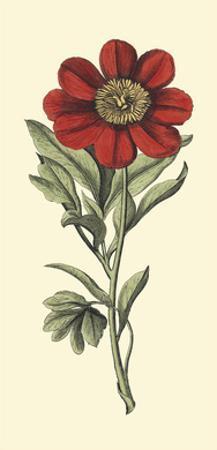 Embellished Blooming Peonies II by Besler Basilius