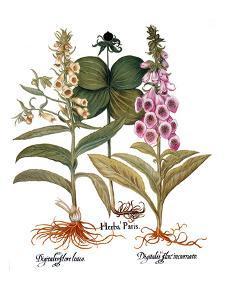 Foxglove And Herb Paris by Besler Basilius