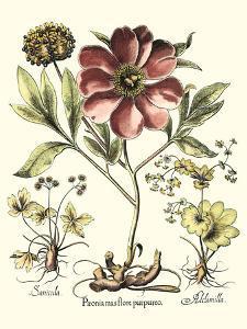 Framboise Floral I by Besler Basilius