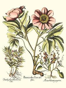 Framboise Floral II by Besler Basilius