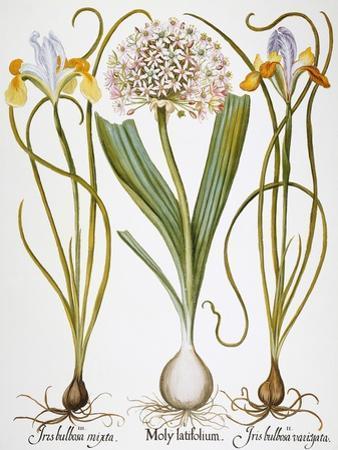 Leek And Irises, 1613 by Besler Basilius