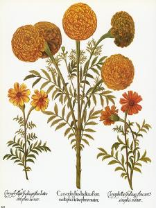 Marigolds, 1613 by Besler Basilius