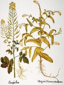 Mustard Plant, 1613 by Besler Basilius