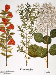 Pomegranate, 1613 by Besler Basilius
