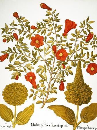 Pomegranate, 1613.