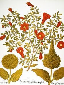 Pomegranate, 1613. by Besler Basilius