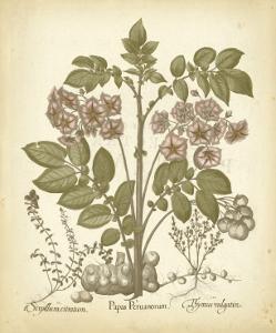 Tinted Besler Botanical III by Besler Basilius