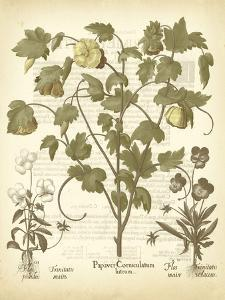 Tinted Besler Botanical IV by Besler Basilius