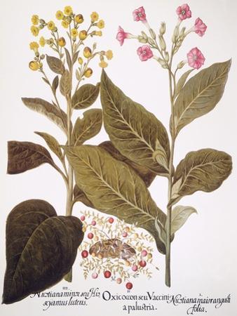 Tobacco Rustica, 1613 by Besler Basilius